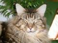 CH Løve Hulen's Copy Cat